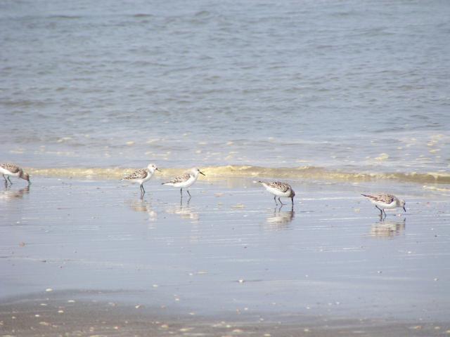 九十九里浜白子海岸コアジサシ