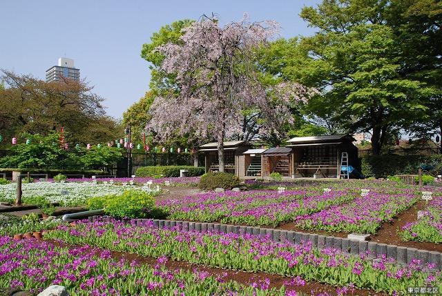 浮間桜草圃場