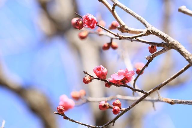 Yoshinobaigo plum Festival