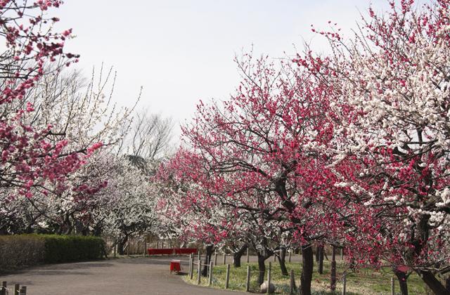 Kyodo no Mori plum Festival