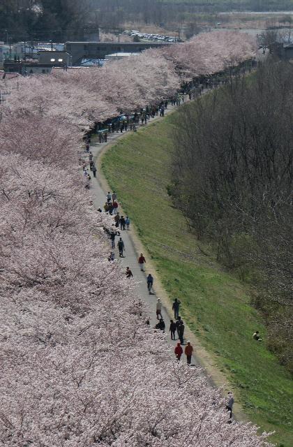 睦橋周辺の桜