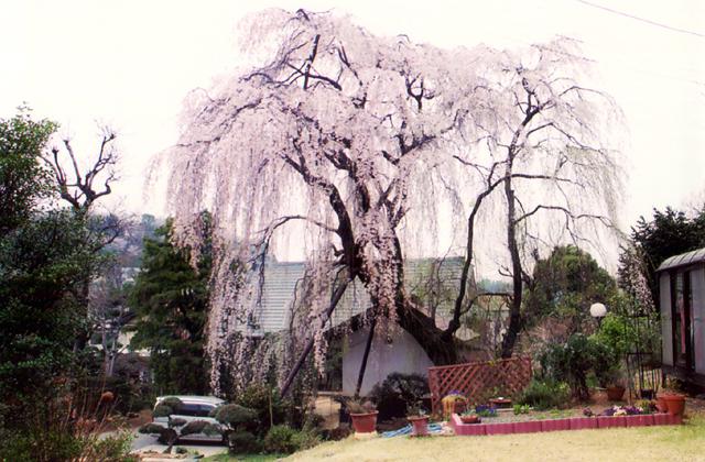 垂枝櫻樹(鶴牧西面公園裡面的)