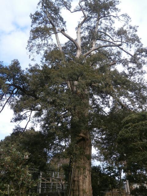 高勝寺のカヤの木