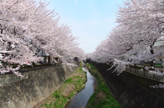 桜・梨の花まつり