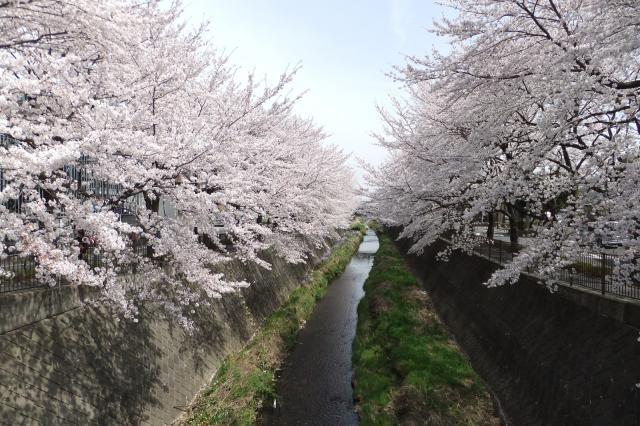 三沢川さくら通り