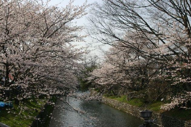 Cherry tree of dam of Hamura