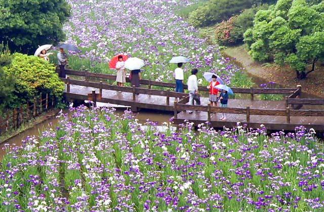 生田緑地公園のハナショウブ