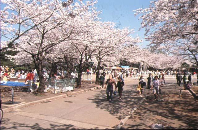 緑ケ丘霊園の桜