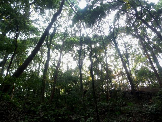 東高根のシラカシ林