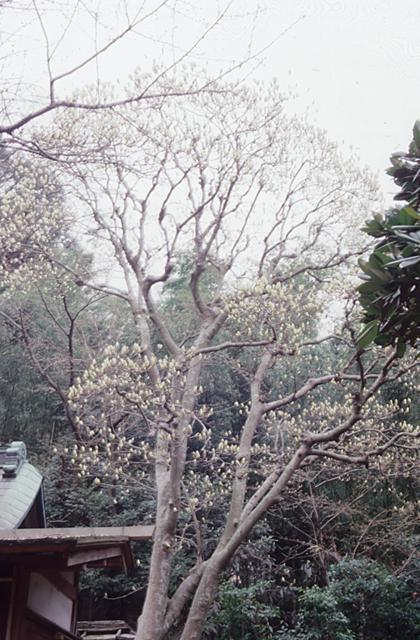 White mangolia of Buddha day hermitage