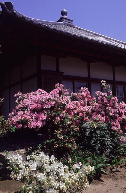 Azalea of An'yō-in temple
