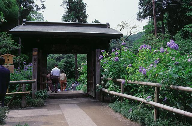 Hydrangea of the Meigetsuin temple