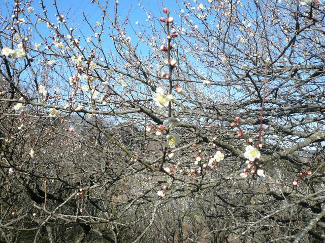 Plum of 12 place orchard