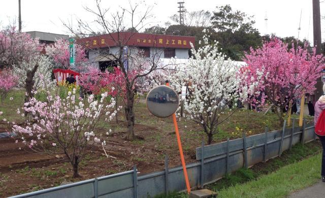 第7次女人坡花桃子節日