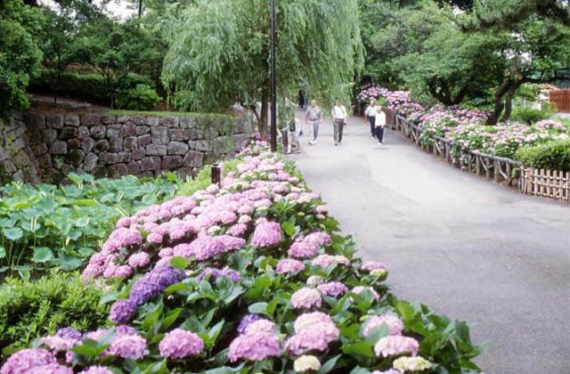 小田原城的舊址公園的紫陽花