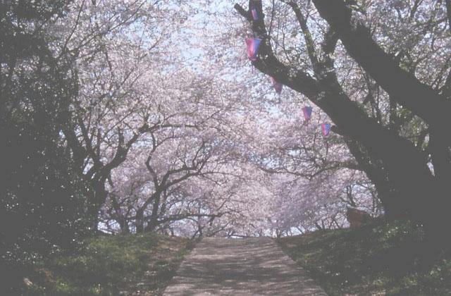 沼代桜の馬場