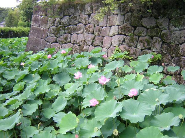 小田原城的舊址公園的蓮