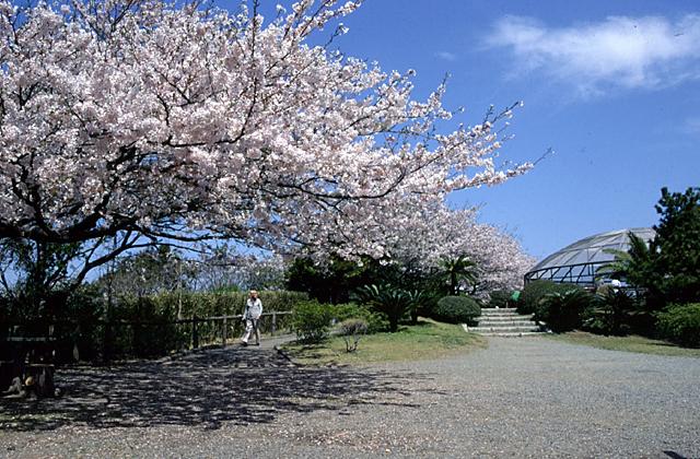 披露山公園の桜