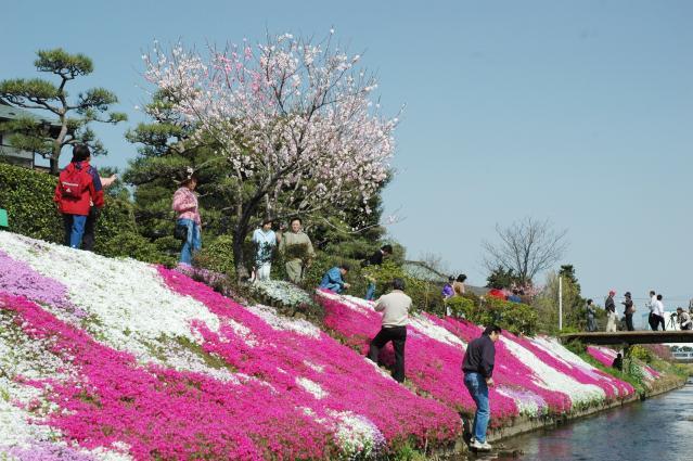 渋田川河畔芝桜
