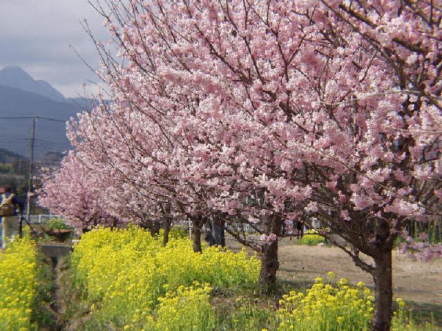 【開催中止】なばな春めき桜まつり