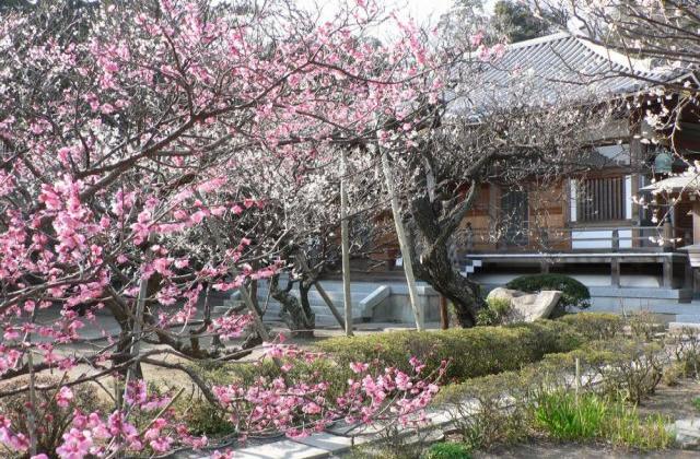 地福寺の桜 島崎藤村の墓