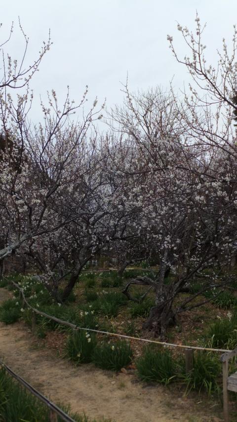 蘇峰堂の梅
