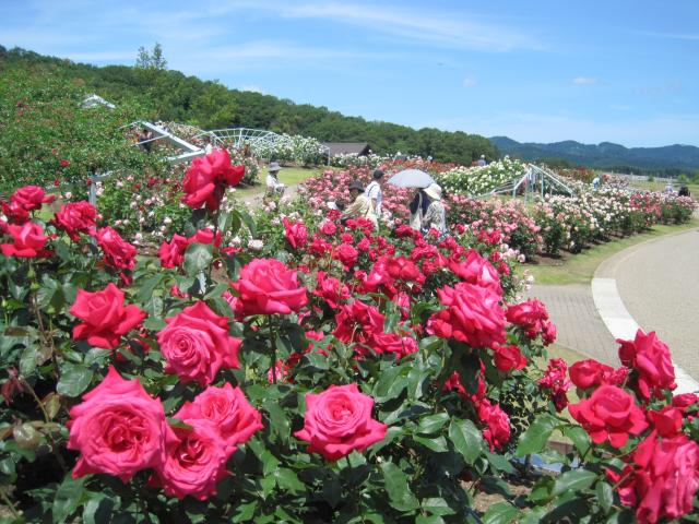 Fragrance Rose Festival★15202ba2212064850