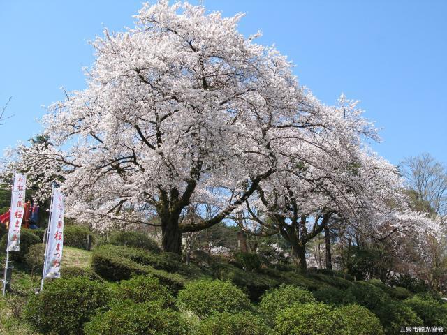 村松公園桜まつり