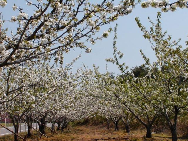 果樹の花(さくらんぼ、梨、桃)