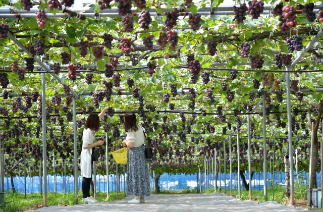 聖籠町観光ぶどう園