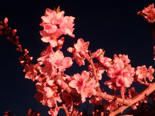 ライトアップされた桃の花