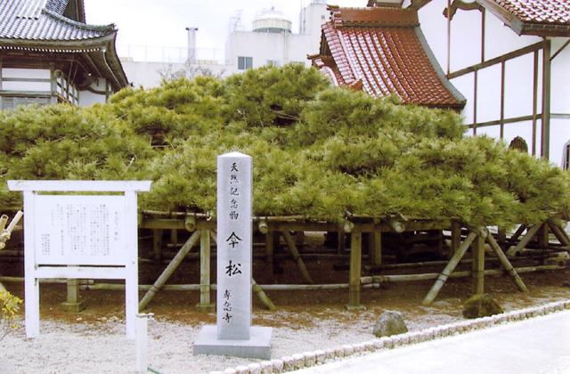 専念寺の傘松