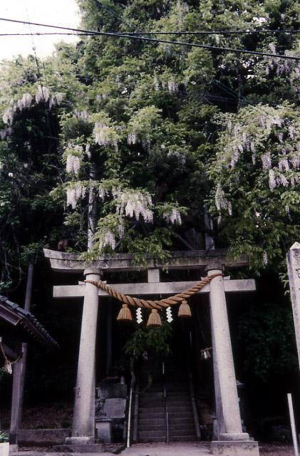 藤波神社の藤