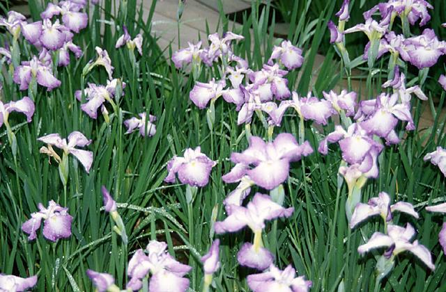 Forest Ranjo's Iris★16208ac2100124534