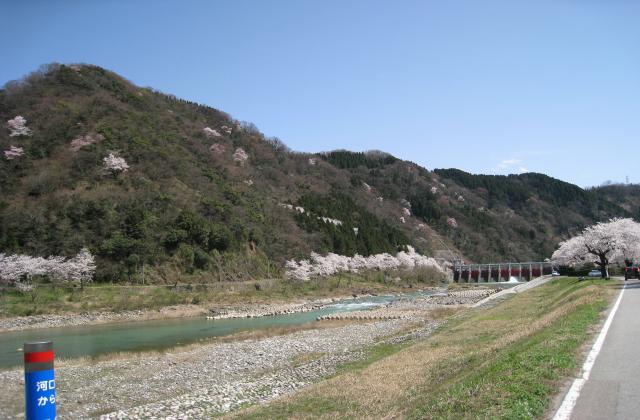 嵐山(庄川加羅谷)の江戸彼岸桜