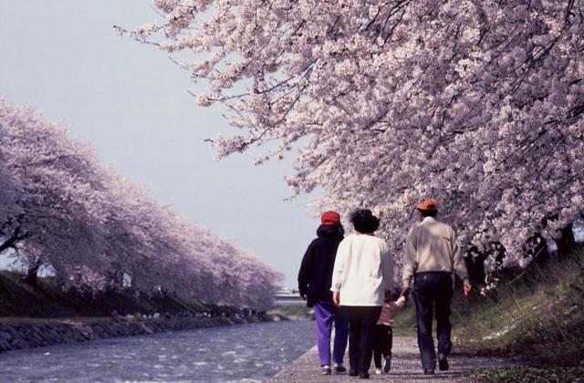 舟川べり桜並木