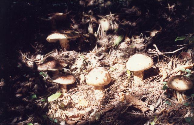 Matsutake mushroom dish