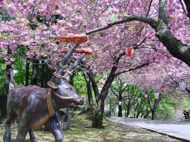 火神重瓣櫻花節