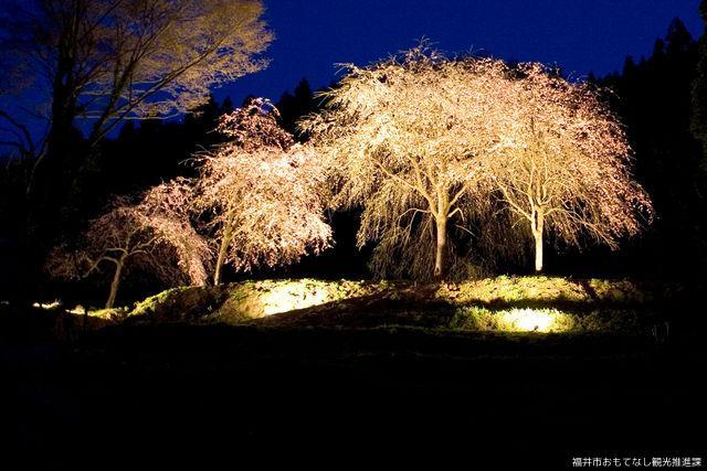 【2021年中止】越前朝倉糸桜まつり