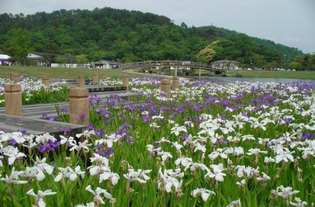 敦賀市総合運動公園花菖蒲園