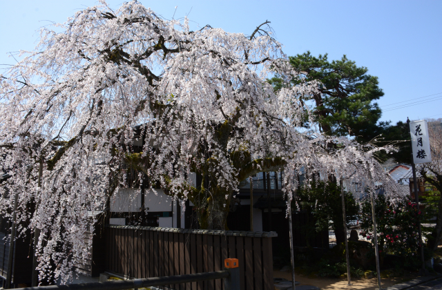 枝垂桜(花月楼)