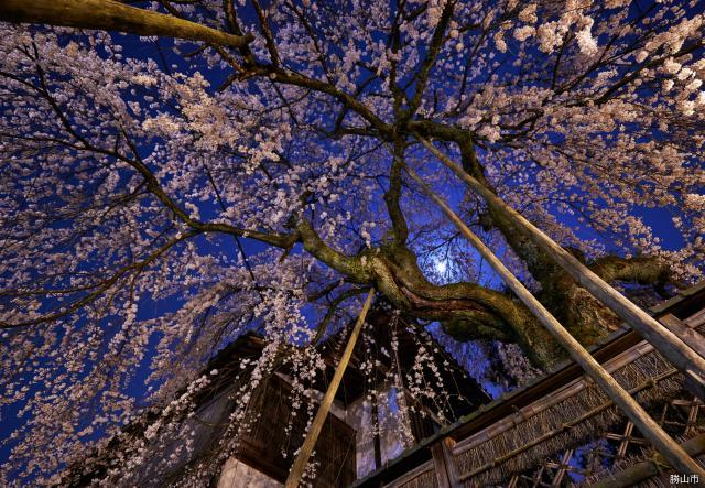 料亭花月楼 枝垂桜