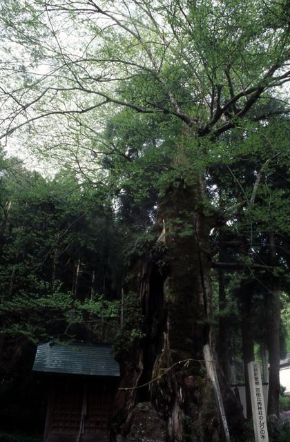 Kanda-hi-uri jinja shrine Muku tree★18462ac2100133112