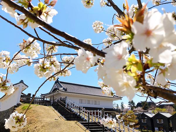 歴史公園の太白桜