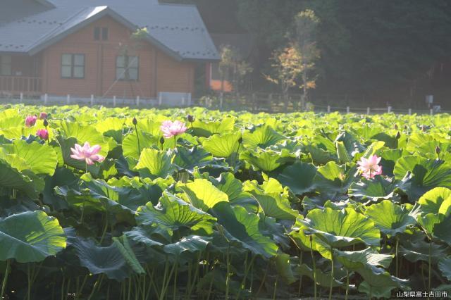 明見湖(蓮池)