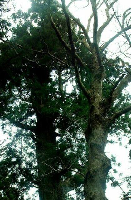 熊野権現の大杉