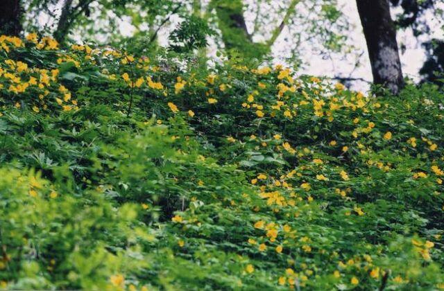 宝鏡寺のヤマブキ草