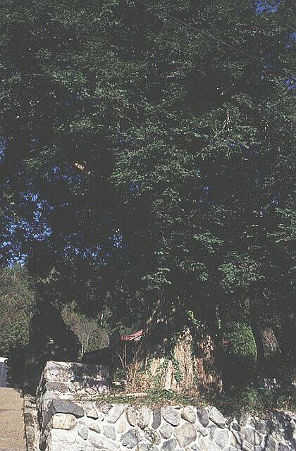 真福寺の大カヤ