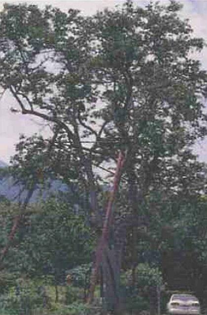 ナシの画像 p1_5