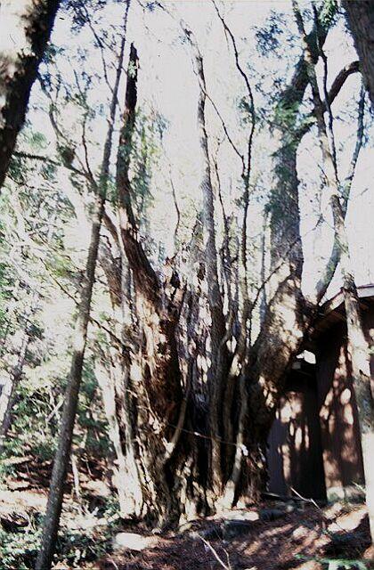 菅野の桂の木